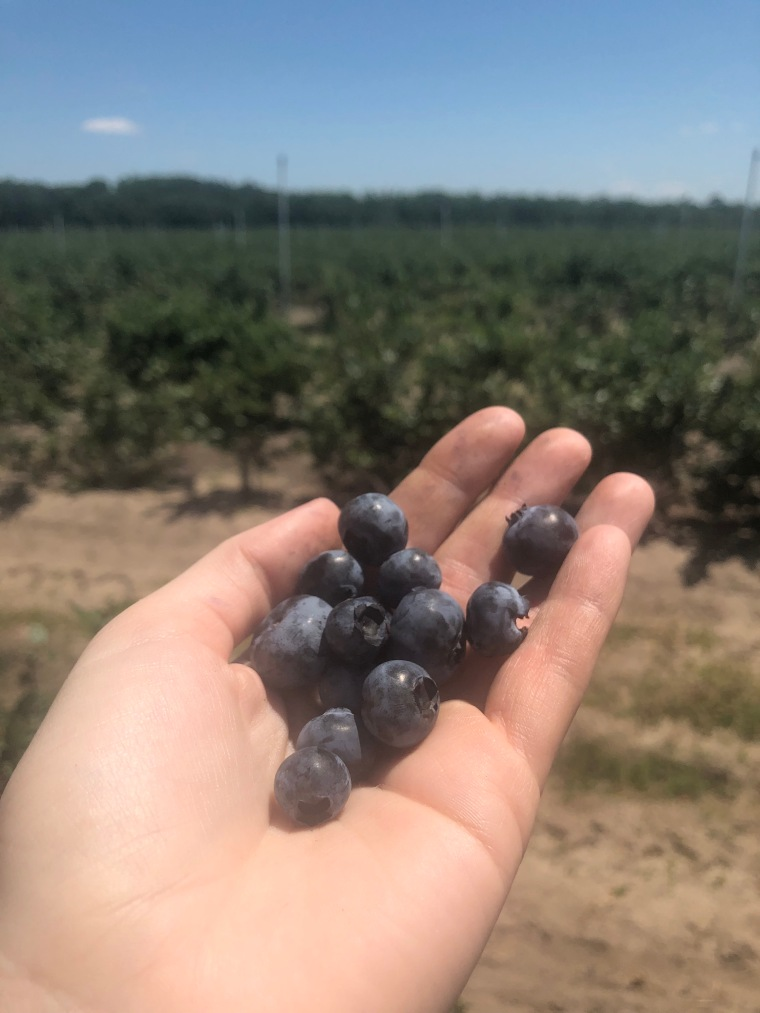 A hand outstretched holding fresh-picked blueberries at Far Reach Farm