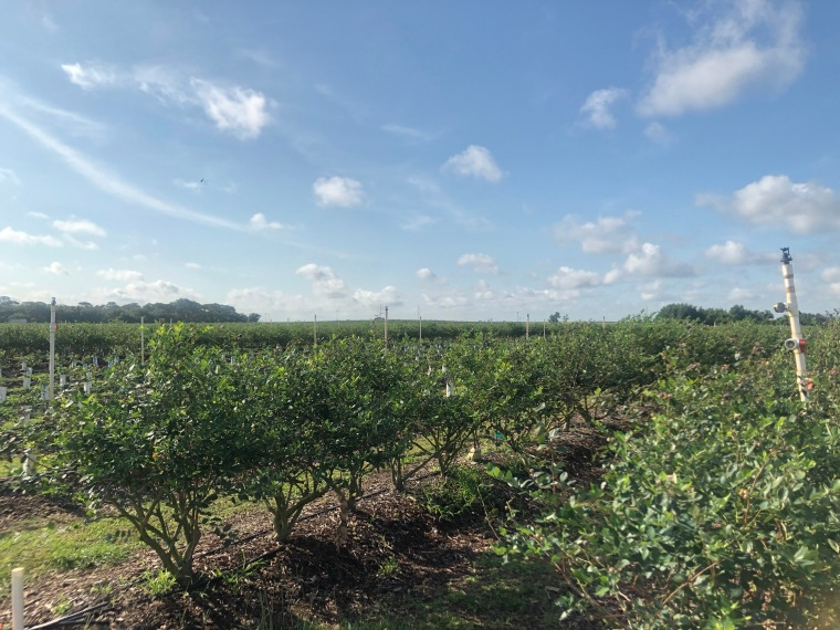 Rows of blueberry bushes at Southern Hill Farm in Clermont, Florida.